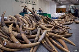 Ivory tusks are displayed after being confiscated by Hong Kong Customs in Hong Kong, July 6, 2017. Hong Kong Customs seized about 7,200 kilograms of ivory tusks on July 4 from a container from Malaysia.