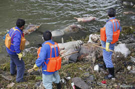 Cleaning workers retrieve the carcasses of pigs from a branch of Huangpu River in Shanghai, March 10, 2013.
