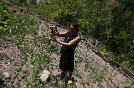 FILE - A woman shows a dry radish plant at her drought-affected plot, in the southern village of San Francisco de Coray, in the department of Valle, Honduras, Aug. 13, 2015.