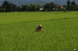 A farmer cuts grasses at her rice field in Fang district, Chiang Mai province, northern Thailand, August 22, 2011.