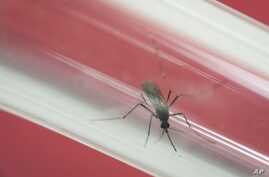FILE - In this May 23, 2016, file photo, an Aedes aegypti mosquito sits inside a glass tube at the Fiocruz institute where they have been screening for mosquitos naturally infected with the Zika virus in Rio de Janeiro, Brazil.