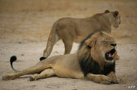 """This handout picture taken on October 21, 2012 and released on July 28, 2015 by the Zimbabwe National Parks agency shows a much-loved Zimbabwean lion called """"Cecil"""" which was allegedly killed by an American tourist on a hunt using a bow and arrow, th"""