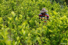 A peasant walks among coca crops in Cauca, Colombia, Jan. 27, 2017.
