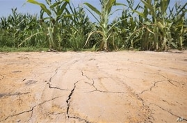 The ground is cracked at the edge of an irrigated corn field near England, Ark., Friday, July 6, 2012. Oppressive heat is slamming the middle of the country with record temperatures.