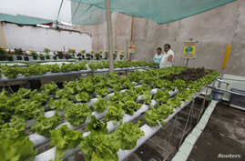 FILE - Enrique Llamozas, a resident of the district of Lince, cultivates hydroponics lettuce on his roof in Lima, Peru, Feb. 24, 2014