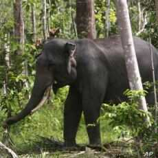 Sumatran Elephants Join Critically Endangered Species List
