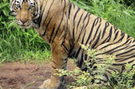 Commandos Deployed to Protect Tigers in Southern India