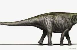 An artist's rendering of a Brontosaurus as researchers see it today, with a Diplodocus-like head is seen in this undated handout courtesy of Davide Bonadonna in Milan, Italy.