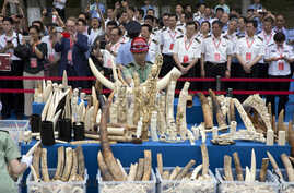 Chinese officials watch as workers prepare ivory products for destruction during a ceremony in Beijing, May 29, 2015. Chinese officials presided over a ceremony to destroy more than 660 kilograms of ivory as part of a crackdown on the illegal trade.