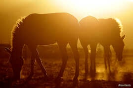 Przewalski's horses graze at the acclimatisation enclosure in the early morning hours at the Takhin Tal National Park, part of the Great Gobi B Strictly Protected Area, in southwest Mongolia, June 23, 2017.