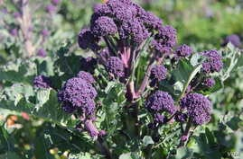 A new variety of purple broccoli.  (Photo: Courtesy of Micaela Colley, Organic Seed Alliance)