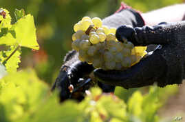 surprised to find that all the g(File) Scientists were surprised to find the grapevines they studied harbored Propionibacterium acnes, a bacterium usually found on human skin and best known for causing acne.