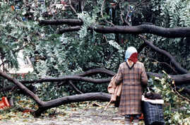 FILE - A woman finds her passage blocked by fallen trees in London, Oct. 16, 1987, after overnight storms with hurricane-force winds caused widespread damage. On the 30th anniversary of the storm, Oct. 16, 2017, Hurricane Ophelia is expected to take ...