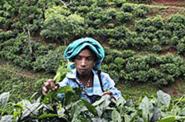 Climate Change Impacts India's Tea-Growing Region