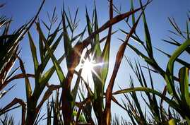 Central Illinois corn crops show signs of stress as they struggle to grow during a record breaking heat wave with dry weather conditions that is happening across most of the U.S., in Farmingdale, Illinois, July 6, 2012.