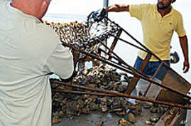 Due to oil spill safety concerns, these oysters caught off the Louisiana coast cannot be sold to restaurants or the public.