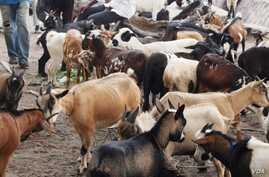 DRC herdsmen are losing their goats to a disease Ovine rinderpest, also known as PPR. Authorities say about 25,000 goats have died of the disease and another 5,000 from infected herds have been slaughtered in the past 6 months, May 19, 2012. (N. Long