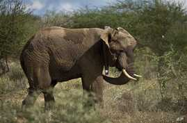A male elephant stands up wearing a newly-fitted GPS-tracking collar around his neck, during an elephant-collaring operation near Kajiado, in southern Kenya Tuesday, Dec. 3, 2013. Teams from the Kenya Wildlife Service (KWS) and the International Fund