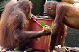 Saving Asia's Orangutans May Also Help Reduce Carbon Emissions