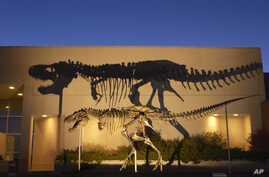 FILE - Image shows a bronze cast of the Tyrannosaurus rex skeleton known as the Wankel T.rex, in front of the Museum of the Rockies at Montana State University in Bozeman, Mont.