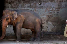 FILE In this May 31, 2016, photo Pakistani caretaker Mohammad Jalal looks at elephant Kaavan at Marghazar Zoo in Islamabad, Pakistan. The plight of Kaavan, a mentally tormented bull elephant confined to a small pen in the Islamabad Zoo for nearly thr
