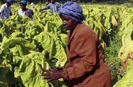 Zimbabwe Farmers Increasing Tobacco Production on Seized Land