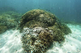 FILE - Fish swim over a patch of bleached coral in Hawaii's Kaneohe Bay off the island of Oahu. Nearly half of Hawaii's coral reefs were bleached during heat waves in 2014 and 2015 and fisheries close to shore are declining, a group of scientists tol