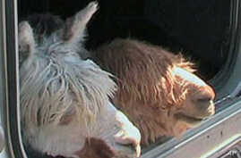 There are more than 4,000 American alpaca breeders who have helped increase the U.S. herd to close to 150,000 animals.