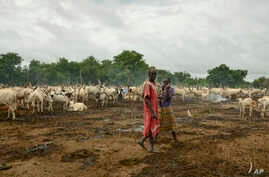 In this photo taken July 31, 2017, cattle keepers walk past their herd at a camp outside the town of Rumbek, South Sudan.