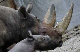 FILE - A 10-day old male rhinoceros calf stands next to its mother 'Kumi' in their enclosure at the zoo in Berlin. The baby rhino, who is yet to be named, is its mother's second offspring.