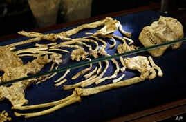 A virtually complete Australopithecus fossil is displayed at the University of the Witwatersrand in Johannesburg, South Africa, Wednesday, Dec. 6, 2017.