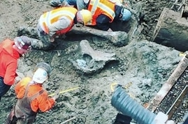Workers unearth a mammoth femur found at the Oregon State University stadium Monday. (Oregon State)
