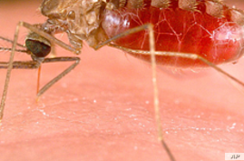The Anopheles mosquito carries the parasite responsible for malaria