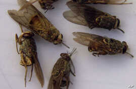 FILE - Dead tsetse flies are seen in a laboratory in Ghibe Valley, southwest of Addis Ababa, Ethiopia, June 1, 2002.