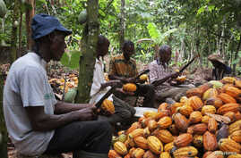 FILE - Farmers break cocoa pods in Ghana's eastern cocoa town of Akim Akooko, Sept. 6, 2012.
