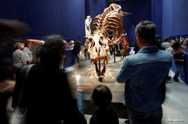 FILE - Visitors look at a 67 million year-old skeleton of a Tyrannosaurus Rex dinosaur, named Trix, at an exhibitioon in Paris, France, June 6, 2018.