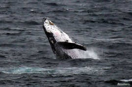 FILE - A humpback whale breaches off the coast at Clovelly Beach in Sydney, Australia, June 19, 2016.