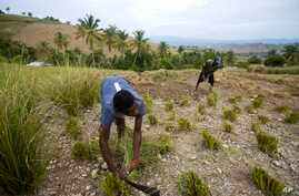 Frito Absolu uses a machete to trim vetiver plants on a hillside in Les Cayes, Haiti.