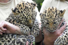 FILE - Two Amur leopard cubs are seen at the zoo in Leipzig, Germany, July 6, 2017.