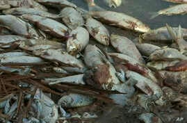 This image made from a video taken Jan. 7, 2019, shows dead fish along the Darling River bank in Menindee, New South Wales, Australia.