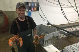 An employee holds two lobsters at Maine Coast, a live lobster wholesaler headquartered in York, Maine. (J.Taboh/VOA)