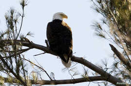 FILE - A bald eagle sits on a tree branch in West Newbury, Massachusetts, March 17, 2010.