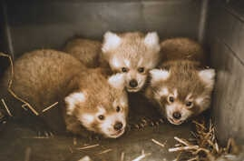 Red panda triplets who were born at the Virginia Zoo in Norfolk.(Virginia Zoological Society - Red Pandamonium Auction)