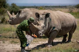 The last two known female Northern White Rhinos are fed carrots by a ranger in their enclosure at Ol Pejeta Conservancy, Kenya, Aug. 23, 2019.