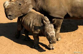 FILE - White Rhinos await buyers in pens at the annual auction in South Africa's Hluhluwe-Imfolozi national park, Sept. 18, 2010.