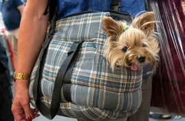 A woman transports a Yorkshire Terrier dog during the International pedigree dog and purebred cat exhibition in Erfurt, Germany…