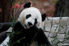 Bei Bei, the giant panda, is seen for the last time at the Smithsonian National Zoo, before his departure to China, in…