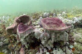 Purple vase sponges are shown in this underwater photograph taken while scuba diving at Gray's Reef National Marine Sanctuary…