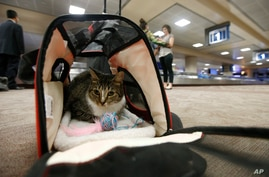 FILE - In this Sept. 20, 2017, file photo Oscar the cat, who is not a service animal, sits in his carry on travel bag after…