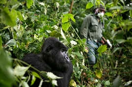 FILE - A park ranger wearing a mask walks past a mountain gorilla in the Virunga National Park in eastern Congo, Dec. 11 2012.